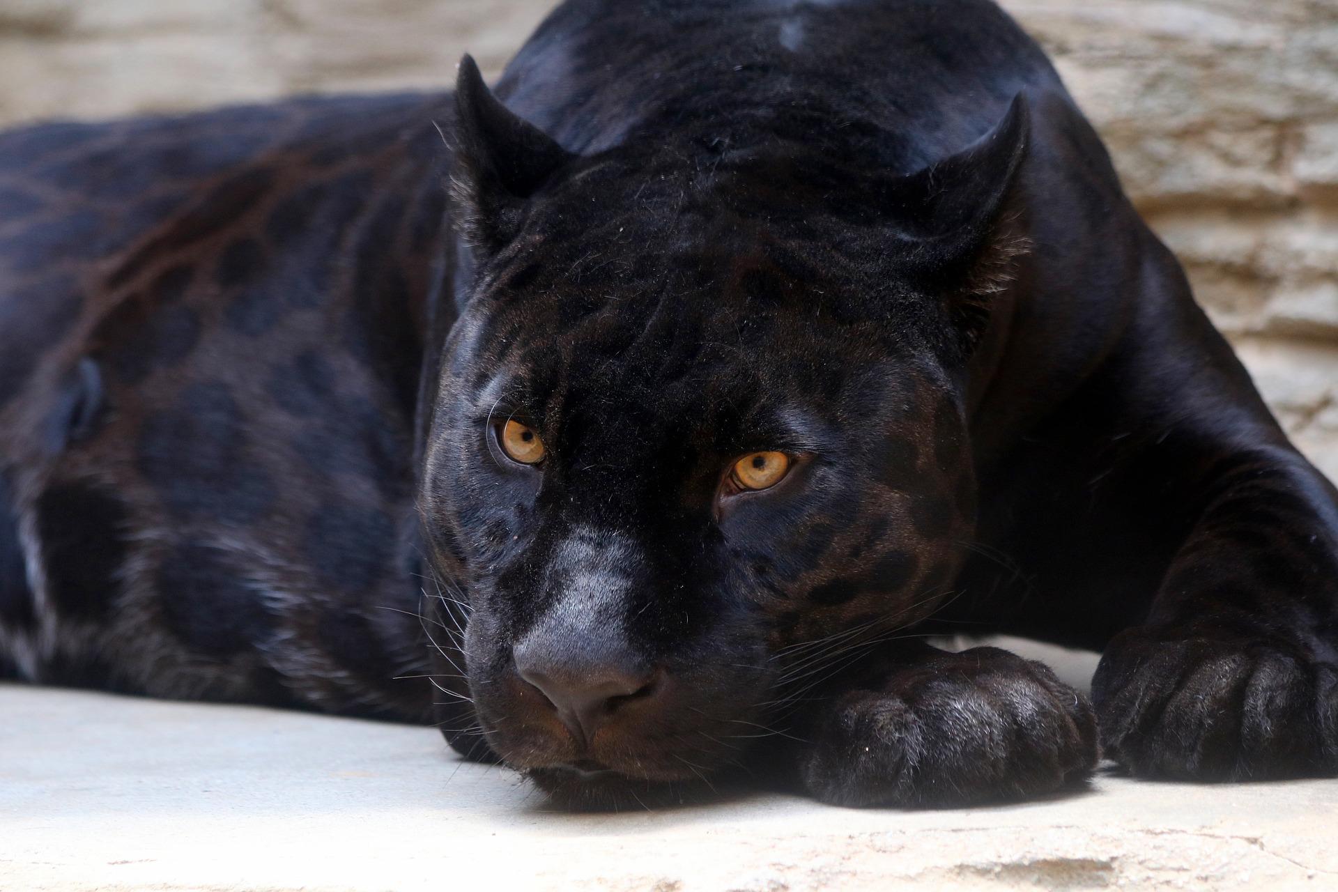 Das Bild zeigt einen schwarzen Panther.