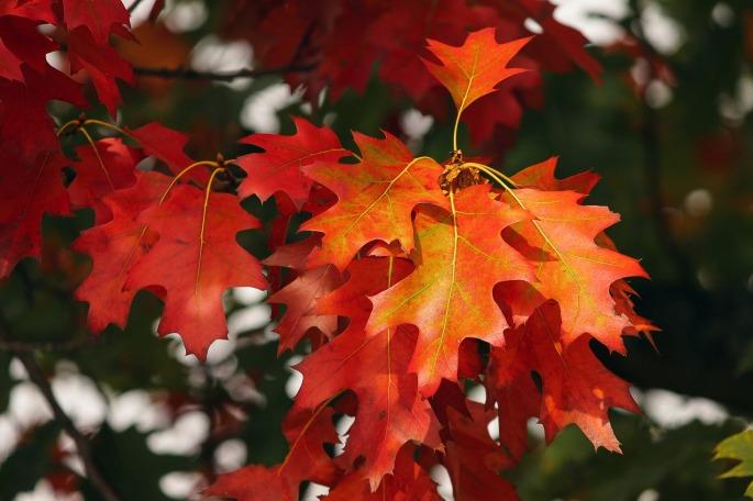 Herbstlaub rötlich schimmernd