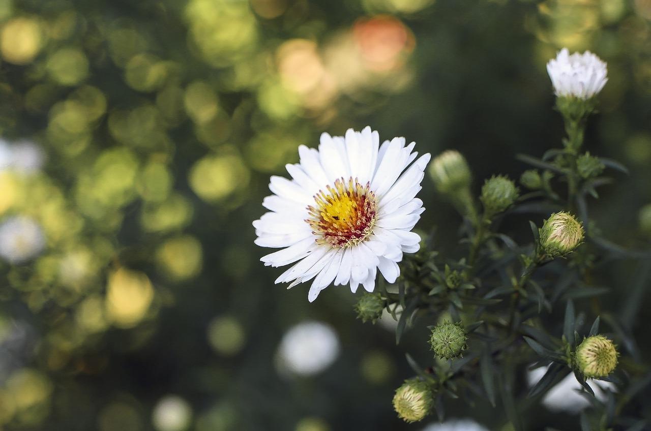 Weiße Herbstastern von René Schickele