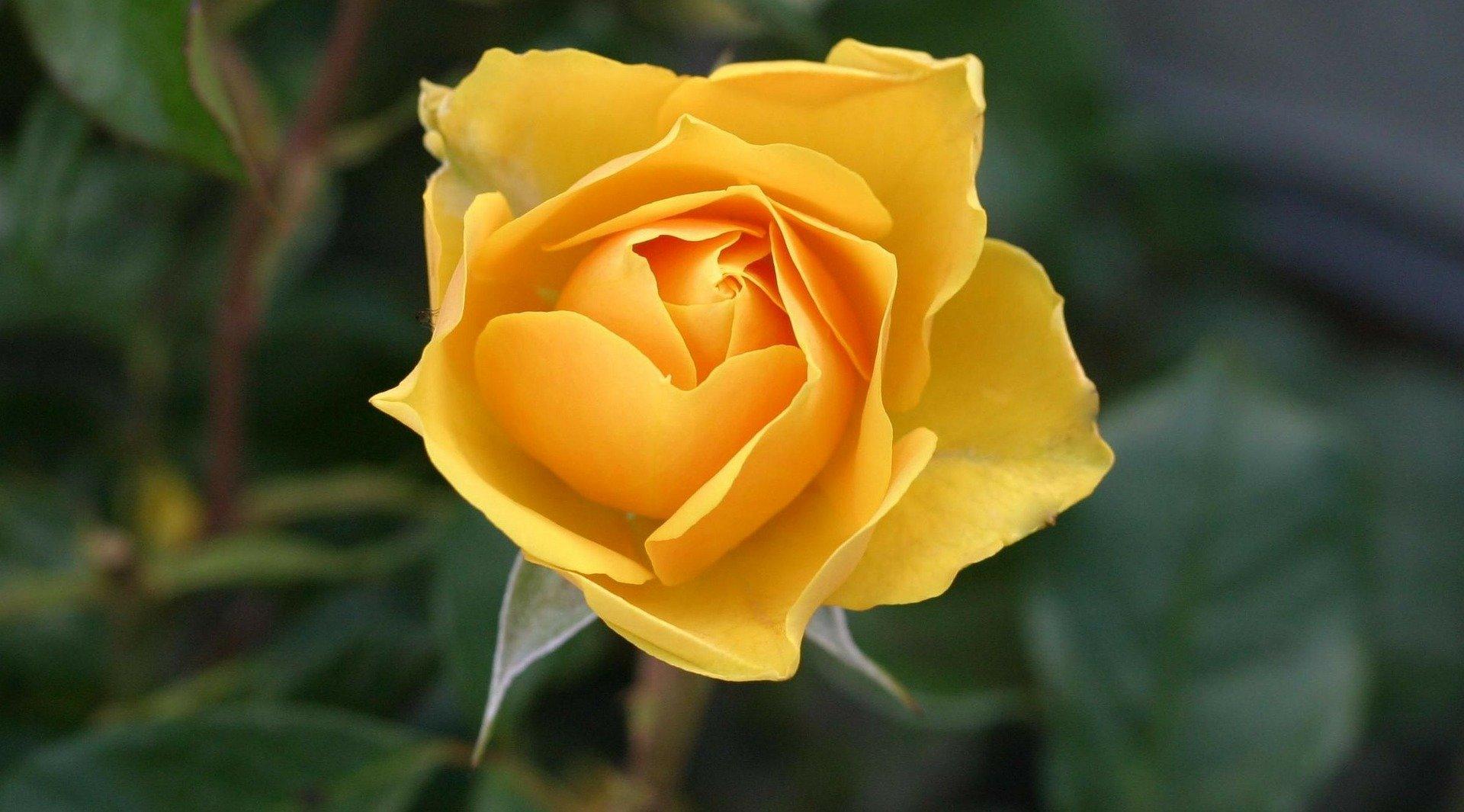 Die Rose - eine Miniatur von Robert Walser.