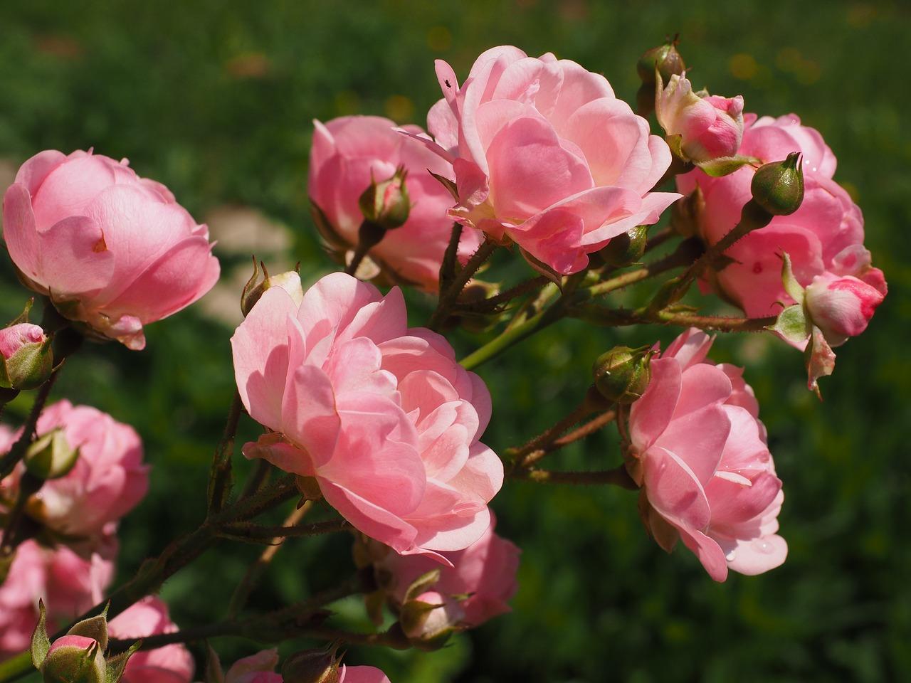 Das Bild zeigt einen Rosenstrauch